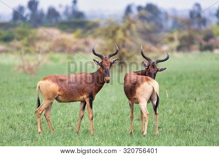 Swayne's Hartebeest, Ethiopia Wildlife