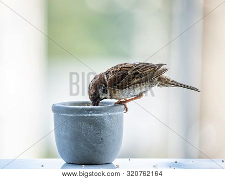 A Eurasian Tree Sparrow, Passer Montanus, Eats From A Small Pot Of Birdseed On A Balcony.