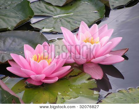 Two pink waterlilies