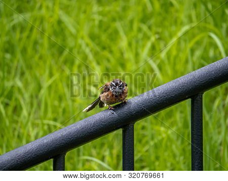 A wet meadow bunting, Emberiza cioides, perches on a railing beside a shallow river in a park in Sasebo, Japan. poster