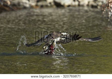 Osprey Snags Kokanee Salmon. An Osprey Flies Out From The Water With A Salmon In Its Talons In North
