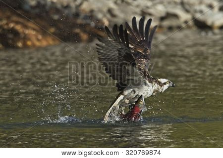 Osprey grabs the fish as it flies off. An osprey flies out from the water with a salmon in its talons in north Idaho. poster