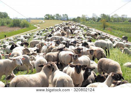 Group Of Sheep Grazing On A Dam Near Hamburg, Germany