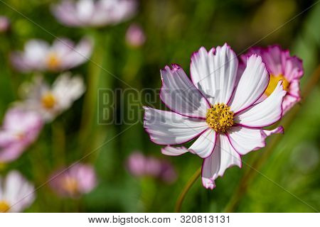 View Of Pink Cosmos Bipinnatus Flower In The Summer Time Garden. Photography Of Lively Nature.