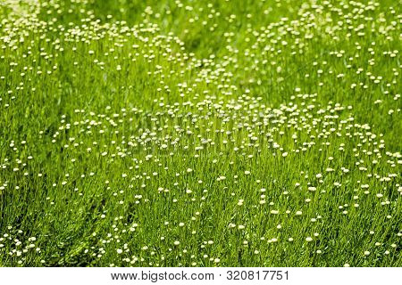 Close Up Photo Of Tall Green Grass Moving With The Wind With White Flower Heads At A Park In San Fra