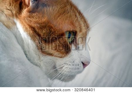 Portrait of a tomcat in profile on white background poster