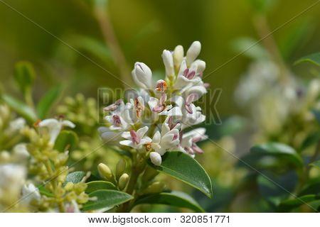 Delavay Privet White Flower - Latin Name - Ligustrum Delavayanum