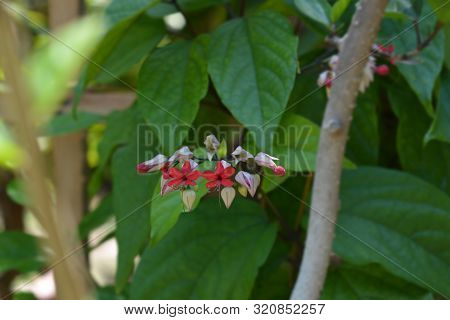 Bleeding Glory-bower - Latin Name - Clerodendrum Thomsoniae