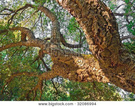 A Fragment Of The Crown Cork Oak.