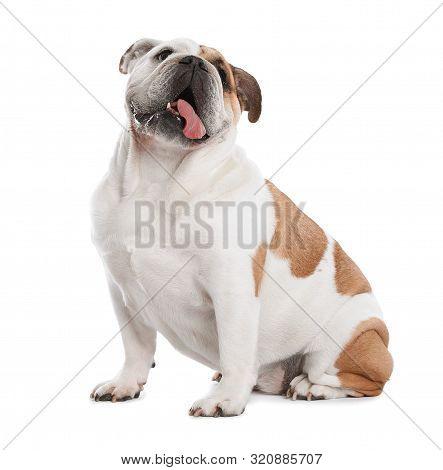 Adorable Funny English Bulldog On White Background