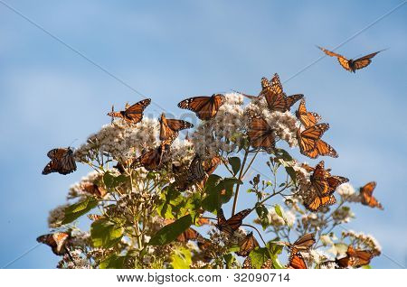 Monarch Butterfly Biosphere Reserve, Michoacan in Mexico poster