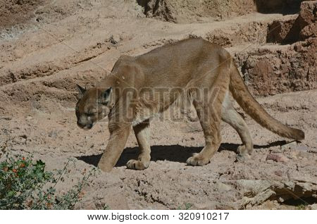 Sunny Capture Of An Adult Mountain Lion Walking Through Exhibit Habitat At The Arizona-sonora Desert