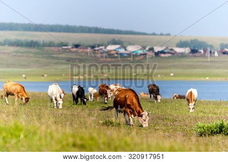 Cows Graze In A Green Meadow By The Lake. Beyond The Lake Is A Village. Farming Livestock. Future Mi