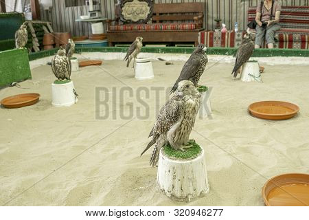 Doha Qatar - July 11 2019; Falcons Used In The Ancient Art And Sport Of Arabic Falconry, In Doha Fal