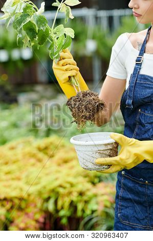 Cropped Image Of Young Woman Taking Plant Out Of Flower Pot To Prick It Out