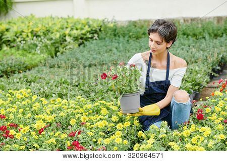 Pretty Female Gardener Wearing Apron When Pricking Out Blooming Flowers In Her Backyard
