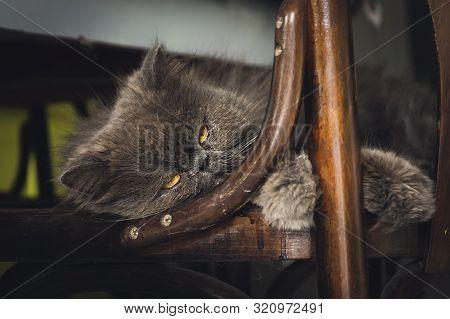 Close Up Of Grumpy Cat. Grumpy Cat Portrait. Close Up Of Grumpy Cat On Chair. Cat. Nature. Cat Nappi
