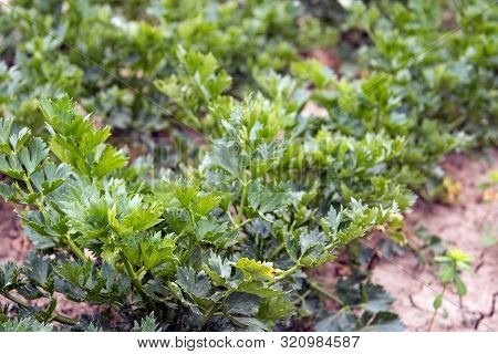 Closeup Of  Outdoors In Soil Cultivated Organically Grown Celery Plants In Long Converging Rows. It