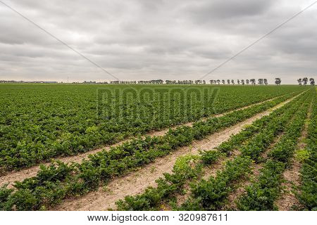 Dutch Landscape Of A Large Field With The Cultivation Of Leaf Celery In Seemingly Endless Long Conve