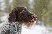 German wire-haired pointer looking in the snow. poster
