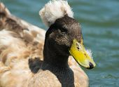 Photo of crested duck taken at Goldenwest Park in Huntington Beach California poster