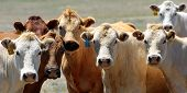 Close-up of the heads of a group of country cows on the ranch (wide format - shallow focus). poster