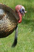 What a beard wild turkey male tom gobbler strutting poster