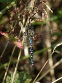 male migrant hawker dragonfly (Aeshna mixta) settled on wild flower stem poster