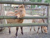 Przewalski's horse or Dzungarian horse in the Kyiv Zoo Ukraine poster