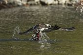 Osprey snags Kokanee salmon. An osprey flies out from the water with a salmon in its talons in north Idaho. poster