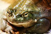 Closeup of Colorado river toad in captivity poster