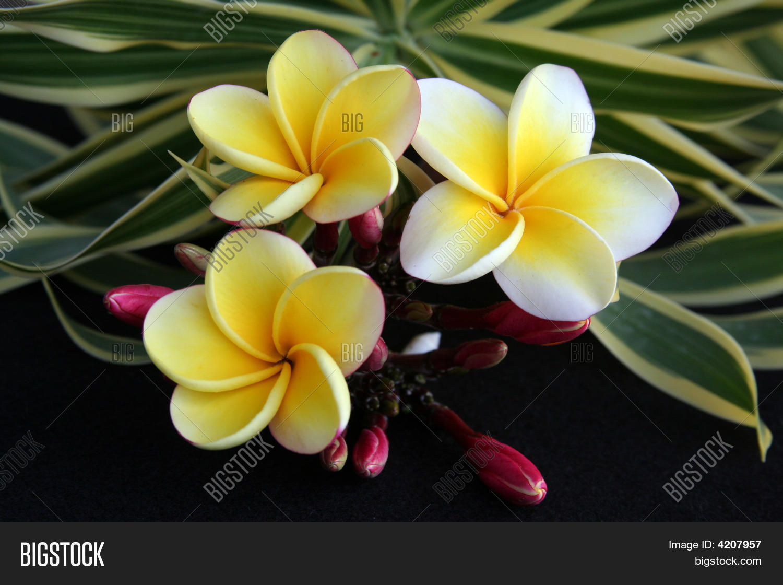 Hawaiian plumeria image photo free trial bigstock hawaiian plumeria flower izmirmasajfo