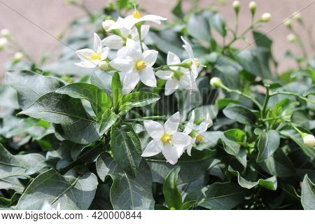 A Blossoming Jasmine Nightshade In The Garden