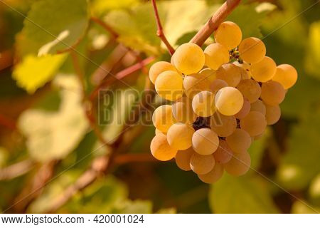 Bunch of grapes hanging on vineyard in autumn day