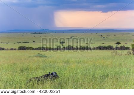 African buffalo grazes in tall grass. Safari - tour to the Masai Mara. Thunderstorm on the horizon. Wild animals in natural habitat. The concept of exotic, active, ecological and phototourism