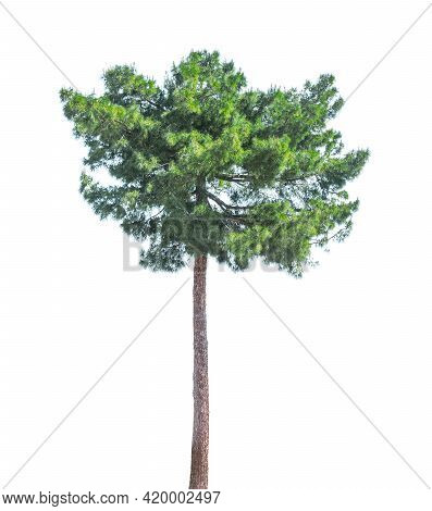Tall Pine Tree Isolated On White Background.