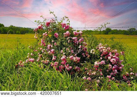 Tall Green Grass With Roadside Wildflowers Pink White And Red In Front Of A Rural Country Barbed Wir