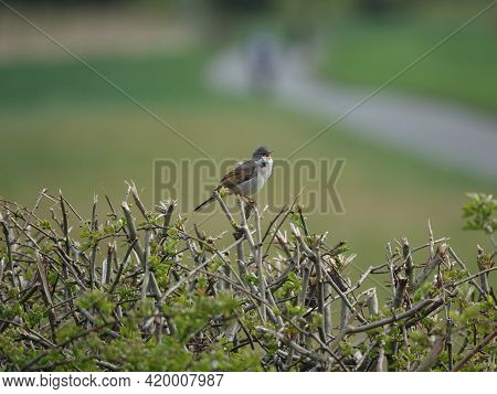 Male Common Whitethroat (sylvia Communis) Singing From Hedge Top