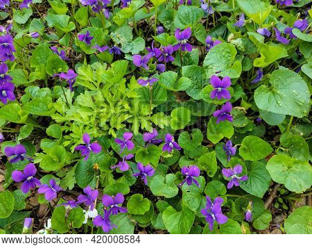 Close Up Of Purple Wild Violets Ground Cover With Weeds