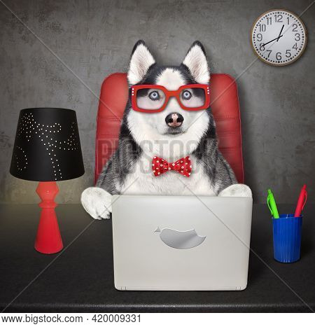 A Dog Husky Businessman In Glasses Uses A Laptop At A Desk In His Office.