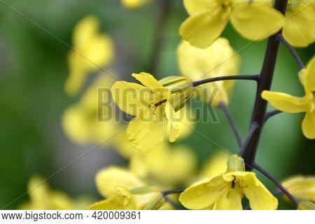 Yellow Cabbage Flower (brassica Oleracea). Flowering In The Garden During The Spring. Munilla, La Ri