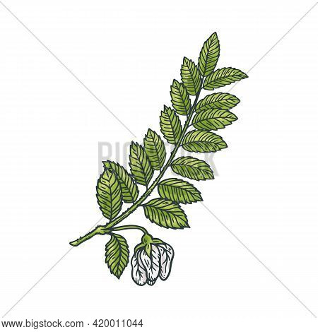 Chickpea Branch With Flower And Leaves, Engraving Vector Illustration Isolated.