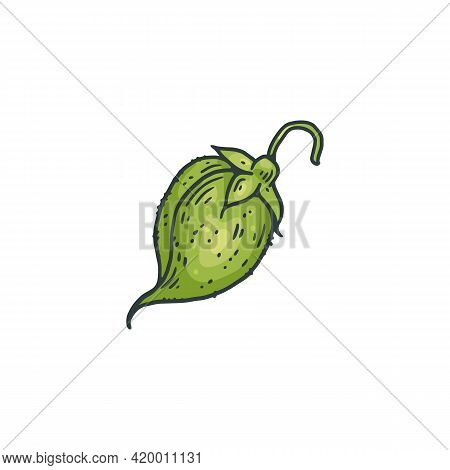 Chickpea Legume Green Pod Or Seed, Engraving Vector Illustration Isolated.