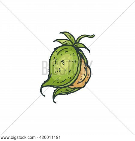 Fruit Of Chickpea Plant In Green Shell, Engraving Vector Illustration Isolated.