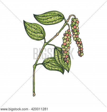 Plant Of Black Pepper With Peppercorn And Leaves, Natural Organic Food .