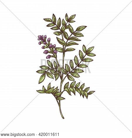 Licorice Plant Overground Part Engraving Vector Illustration Isolated.