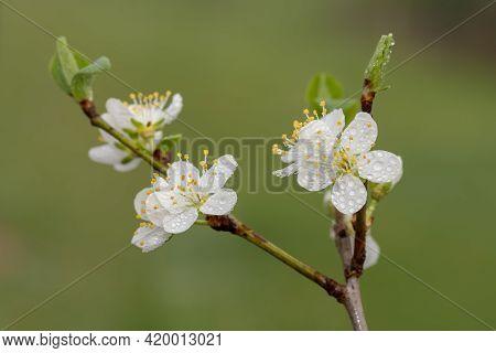 Blackthorn (prunus Spinosa) Blossom