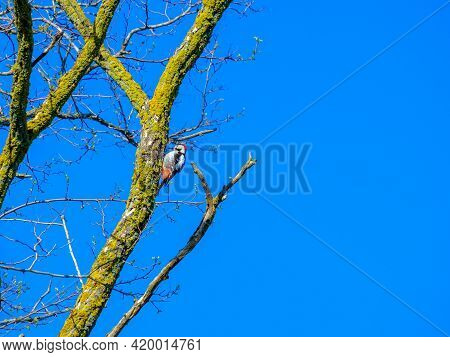 Woodpecker On A Dry Tree Trunk Against The Blue Sky On A Sunny Day. The Bird Obtains Insects For Foo