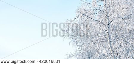 Horizontal winter banner with branches of  birchs covered with frost. Branch of birch covered icy. Copy space for text