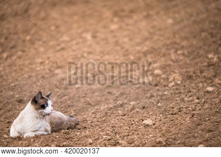One Cat Lying In Agriculture Field. Natural Environment.